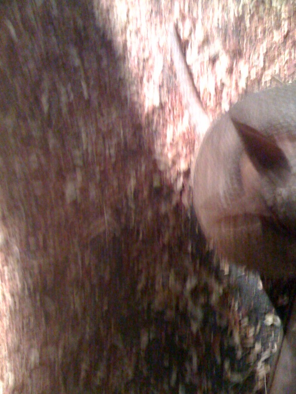 Half an armadillo
